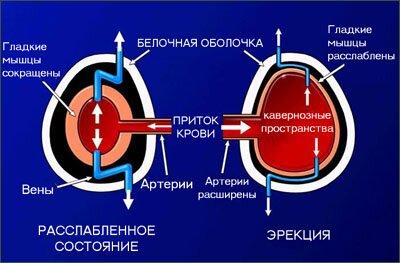 На фото: механизм эрекции